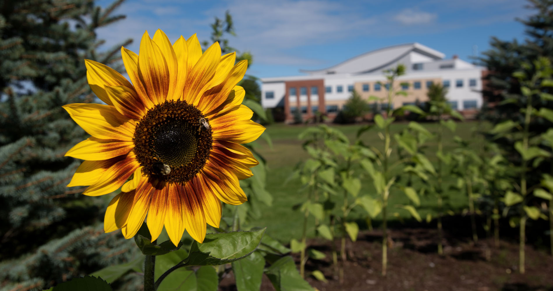 Sunflowers bloom in front of the Beardsley Meeting House